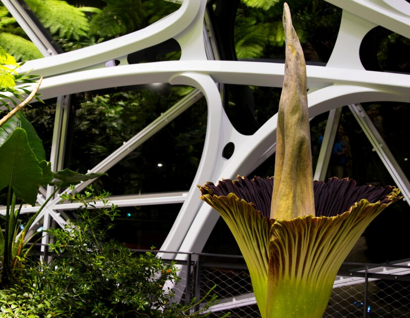 The corpse flower in bloom in The Spheres, shot at night.