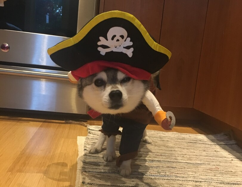 Dog dressed in a pirate costume