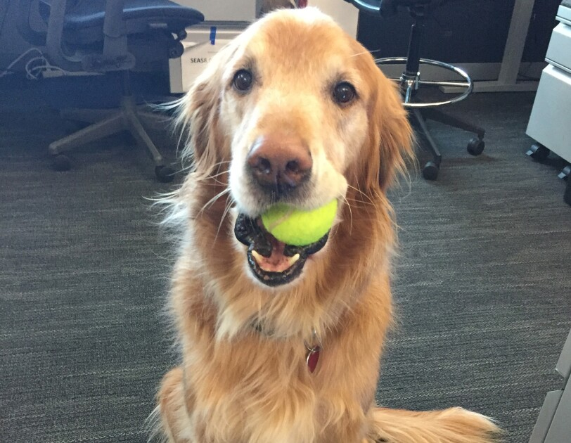 A golden retriever sits on a carpet with a yellow tennis ball in his mouth.