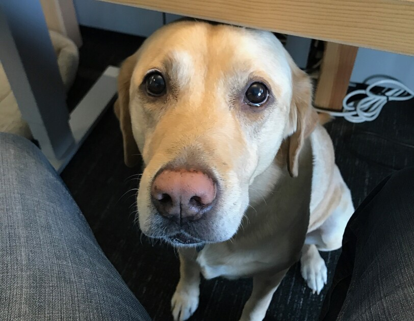 Dogs of Amazon - dog under desk looking up