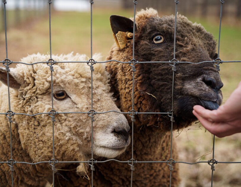 Two sheep behind a fence. A person's hand on the right side of the image is feeding the animals.