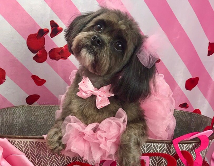 "A brown and black Shih Tzu sits in a galvanized bucket, wearing a tutu and bow at her neck, and tulle pom poms on her ears. In front of the bucket, a pillow that says ""You make my tail wag"" is positioned."