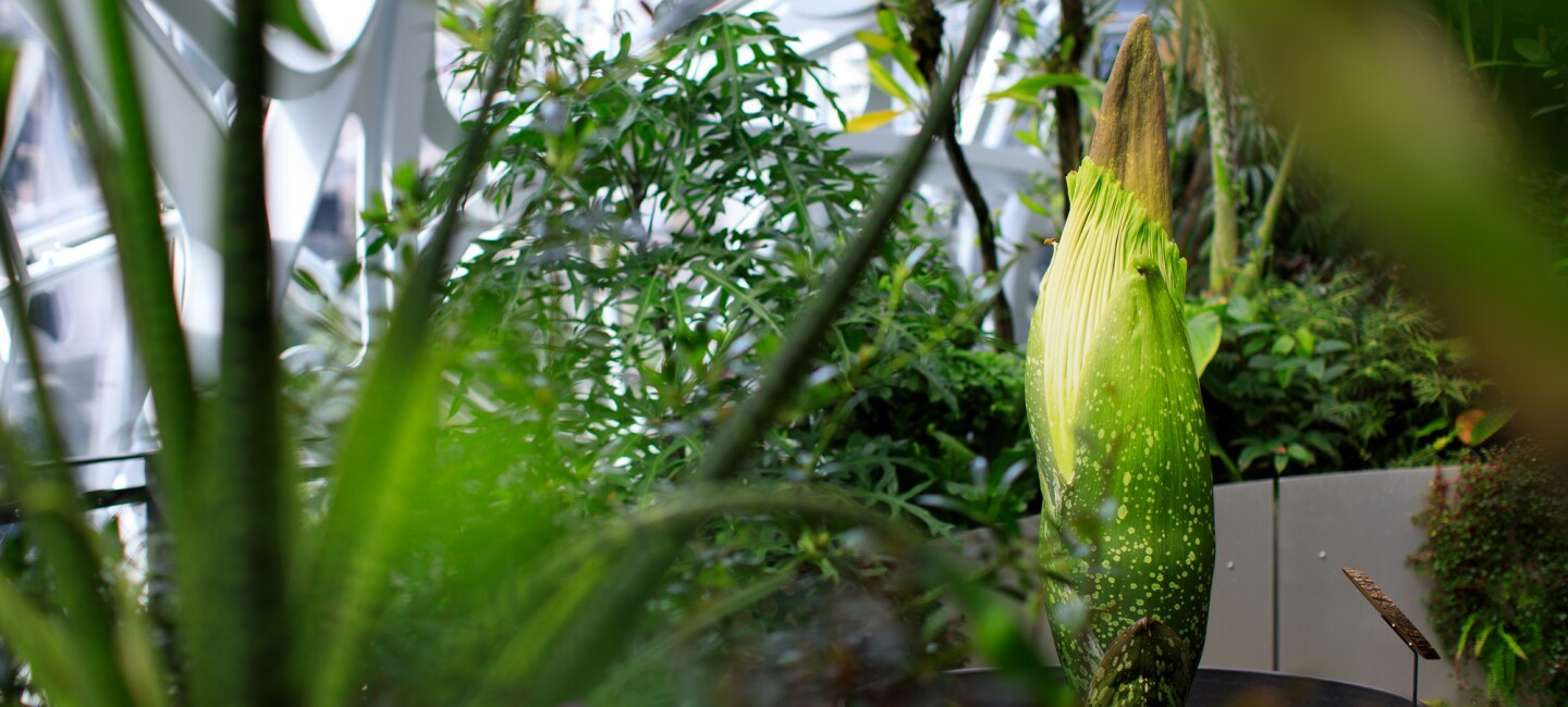 Corpse plant blooming in The Seattle Spheres. The plant is surrounded by other greenery, in the background the glass structure can be seen.
