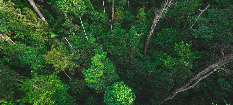 Immagine di una foresta vista dall'alto con alberi verdi e dall'alto fusto