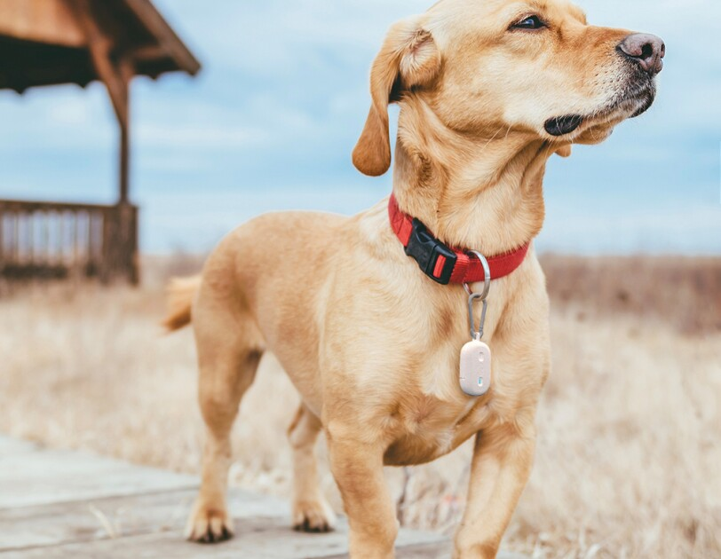 Dog standing on a coastal boardwalk, wearing a red collar and Fetch device.