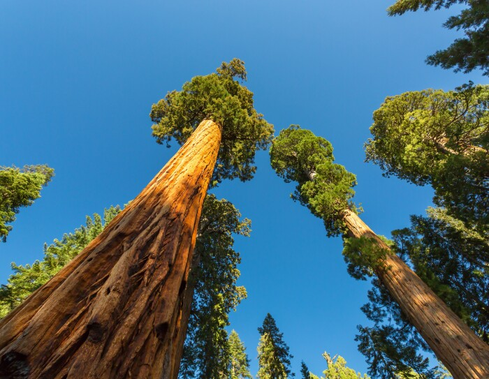 Tall trees stretching up to a blue sky.